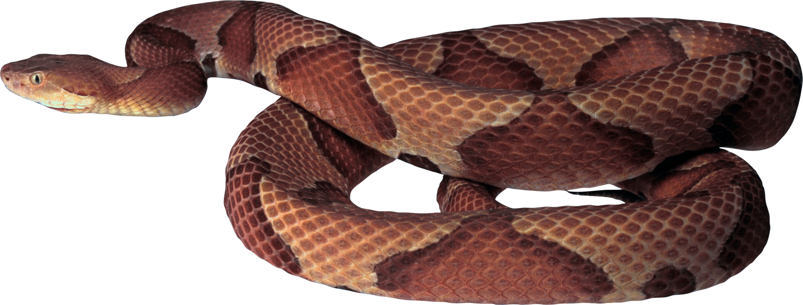 Twenty four isolated stock. Snake clipart tiger snake