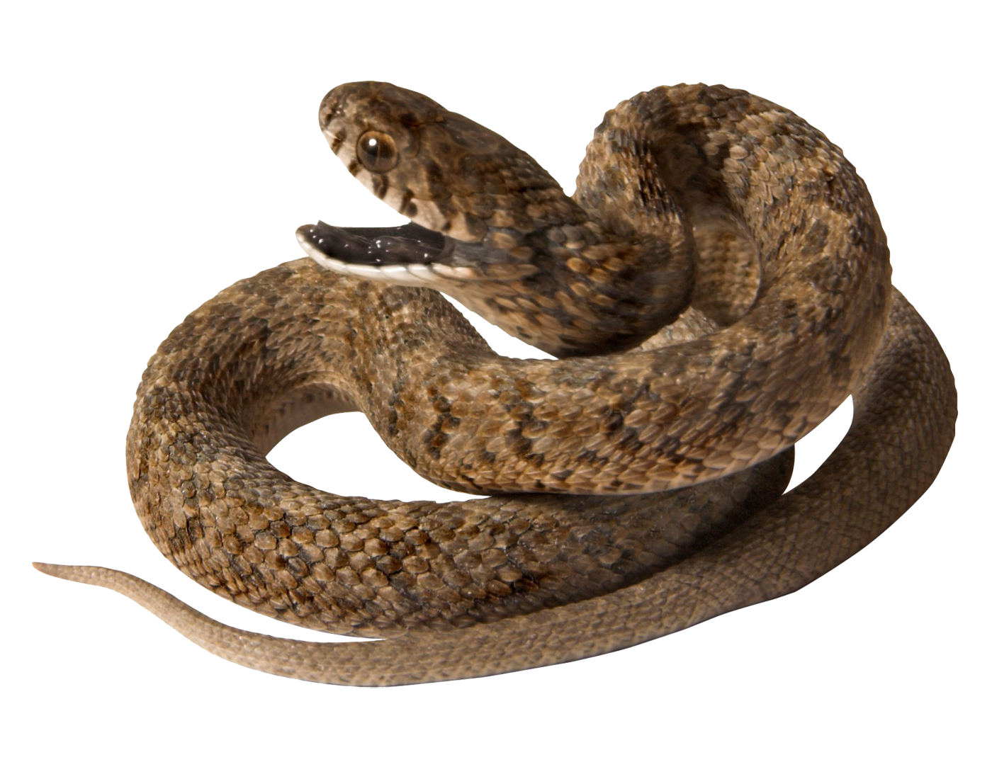 Png image purepng free. Snake clipart brown snake