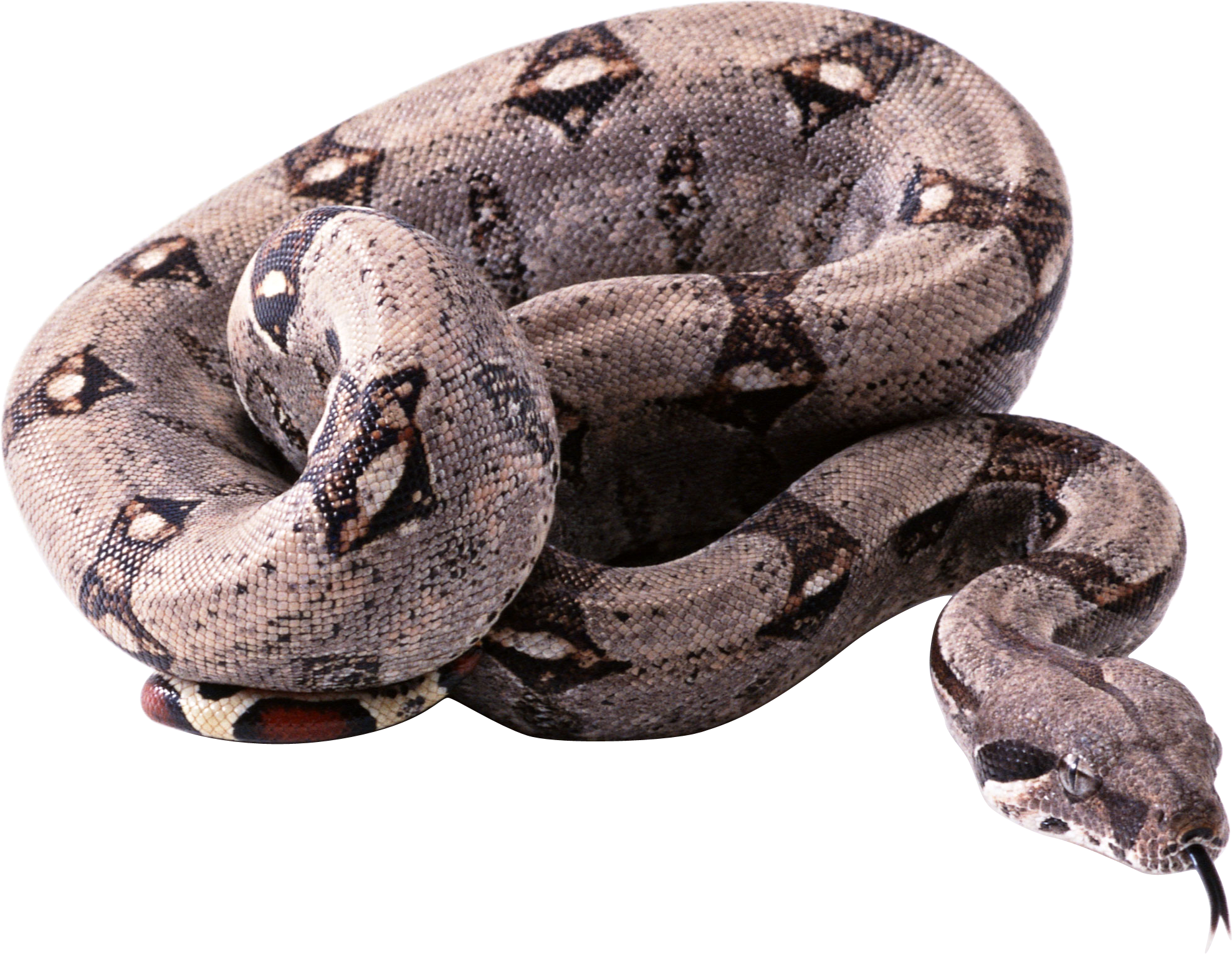 Snake clipart boa constrictor. Png in high resolution