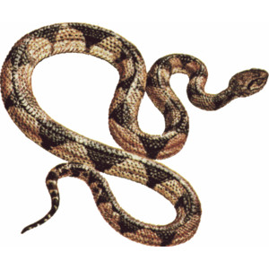 Clipart snake gopher snake. Cute animals clip art