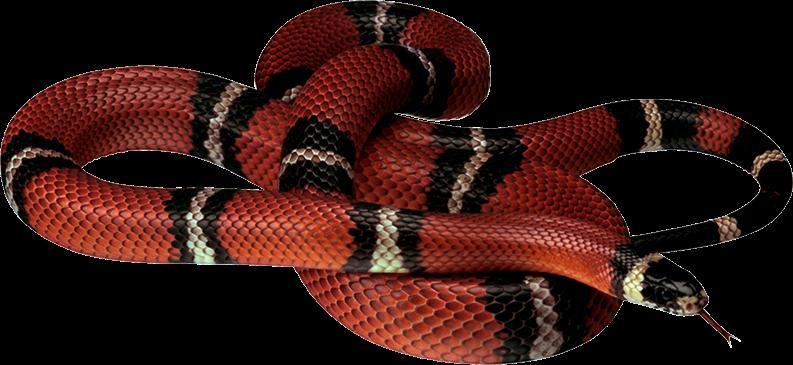 Clipart snake king snake. My webpage