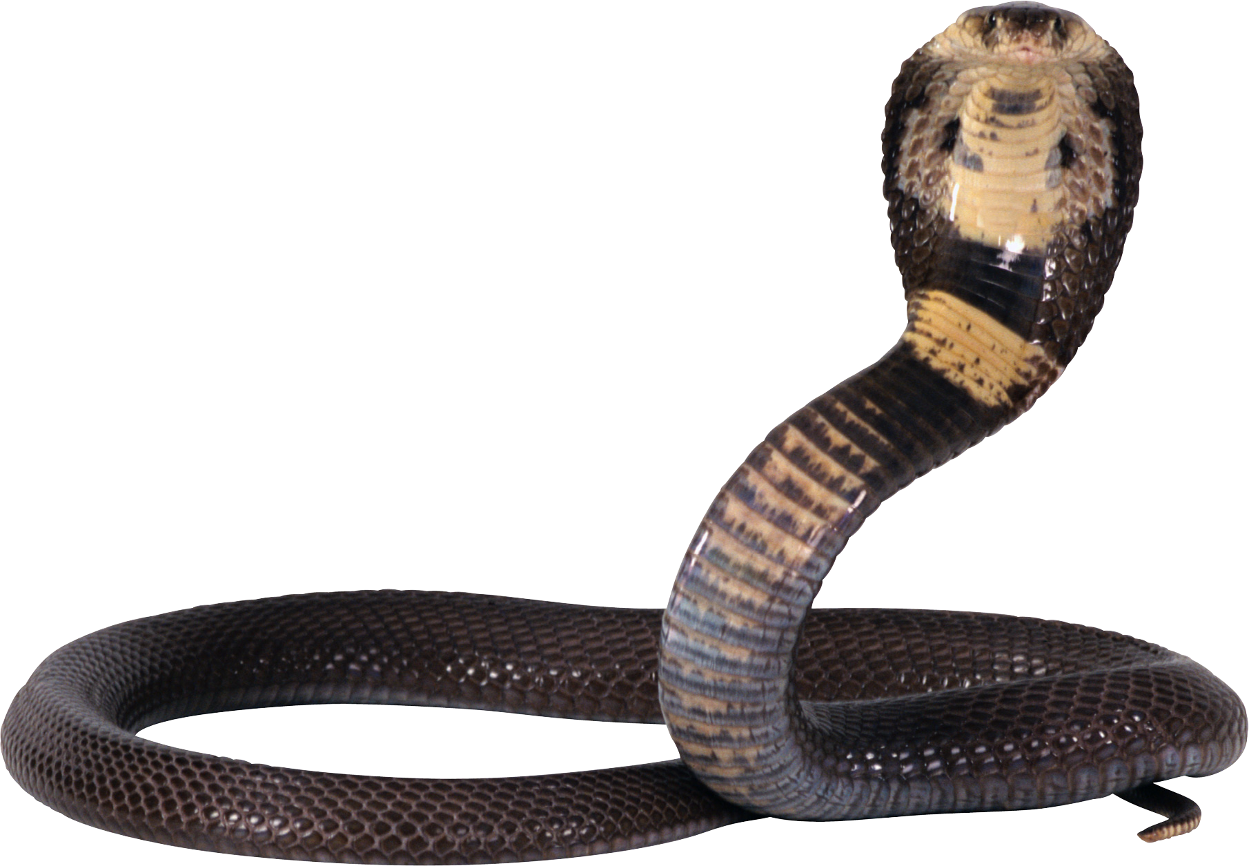Clipart snake king snake. Eleven isolated stock photo