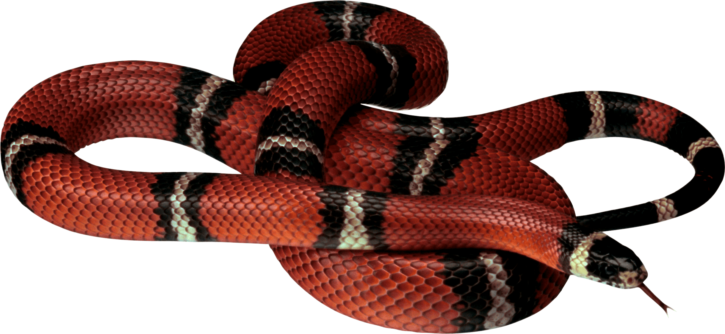 Red white black png. Clipart snake king snake