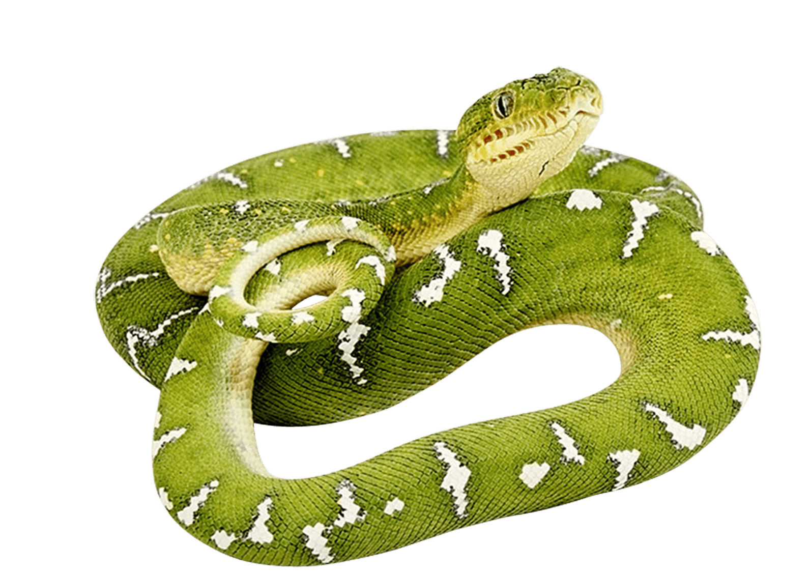 Green Snake twirling PNG Image