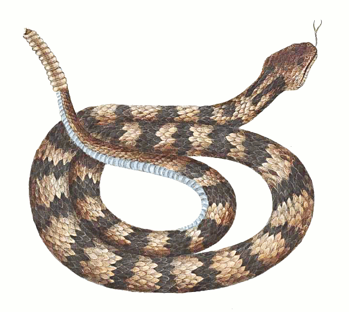 Snake clipart realistic. Free cliparts download clip