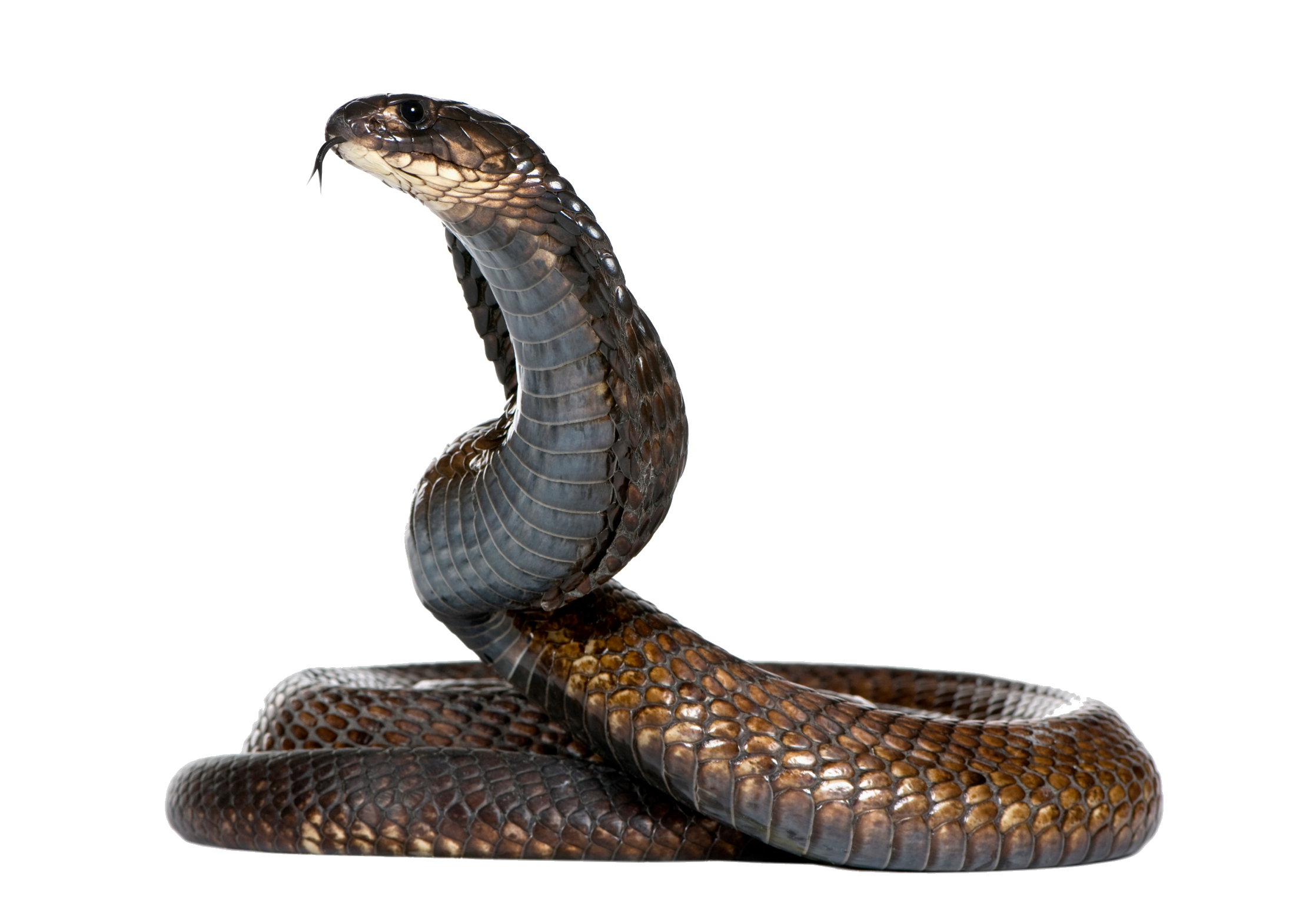 Snake clipart giant snake. Page