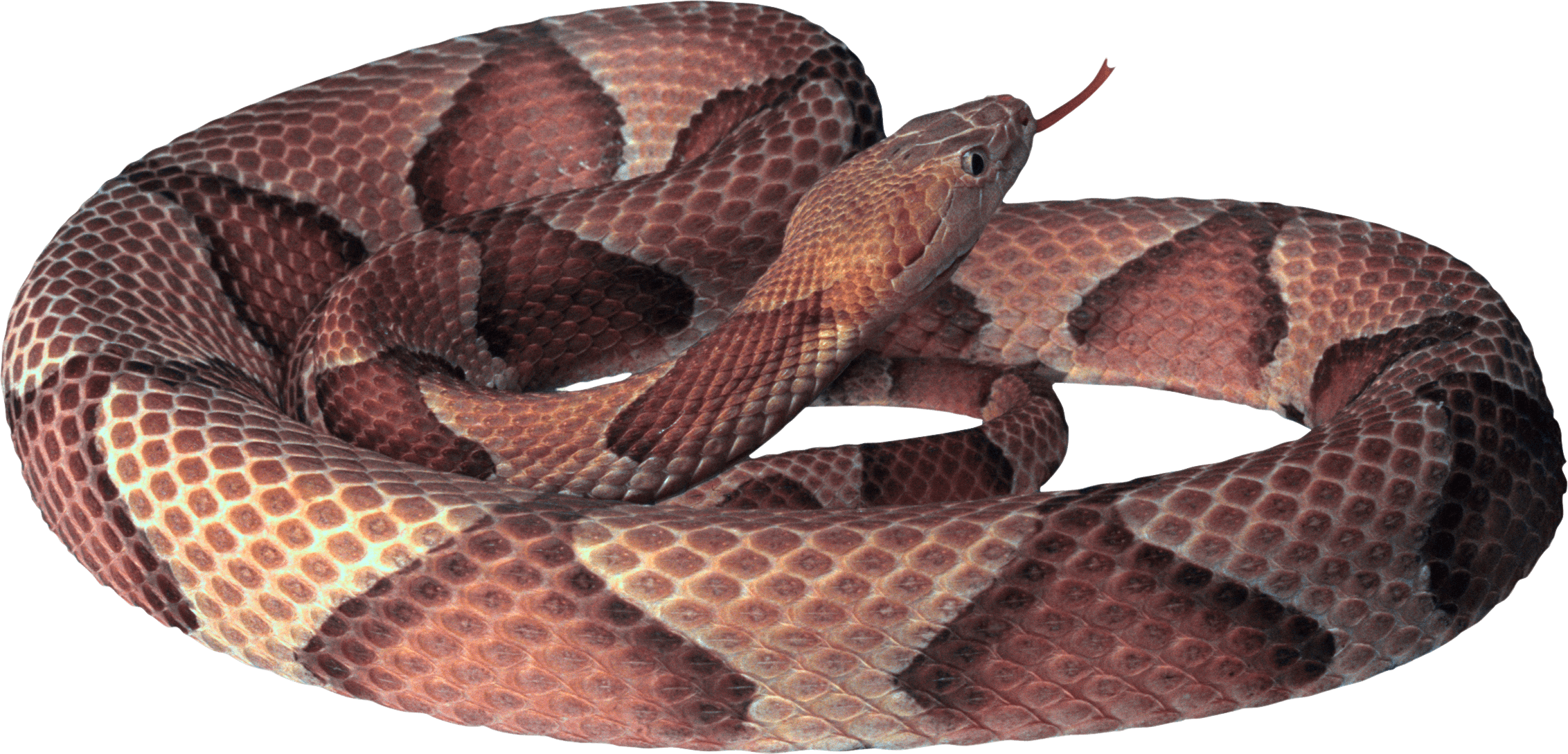 Snake clipart venomous snake. Curling png image purepng