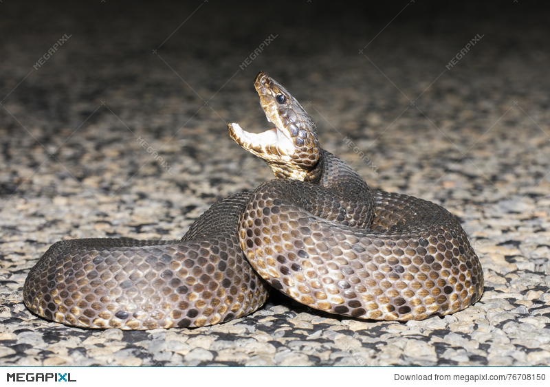 Stock photo megapixl . Snake clipart water moccasin