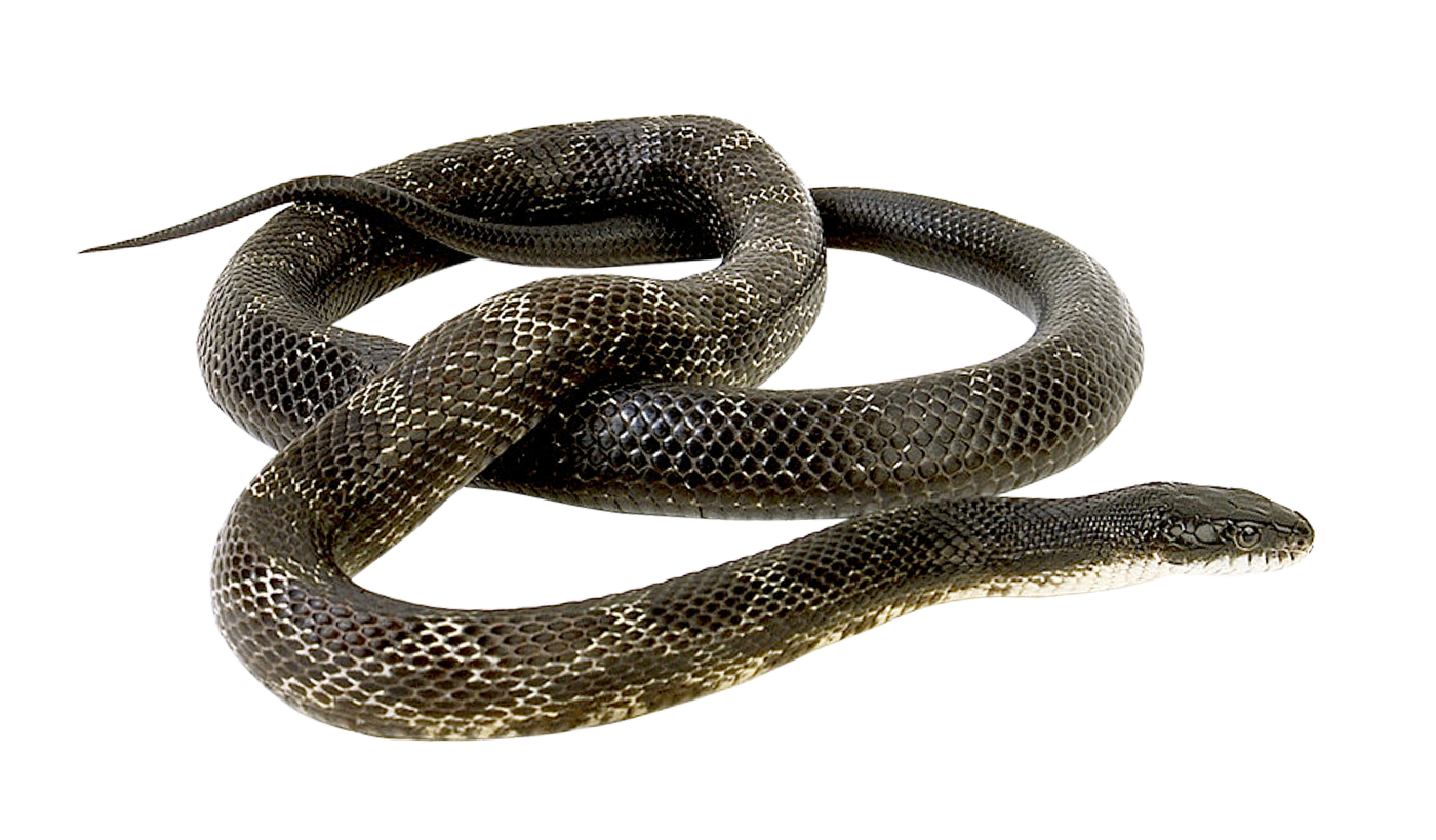 Snake clipart water snake. Png transparent image pngpix
