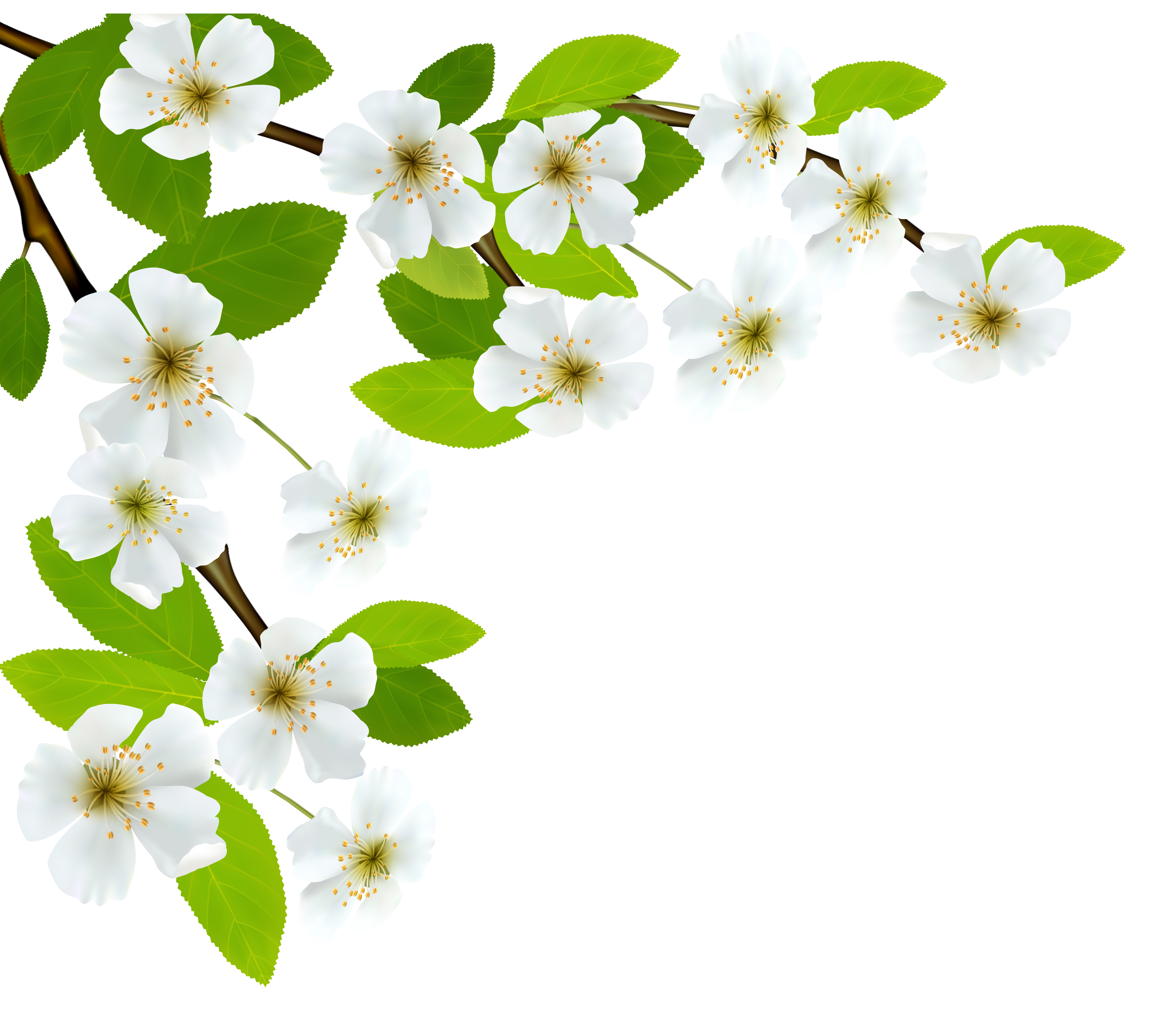 White spring clipart image. Flower branch png