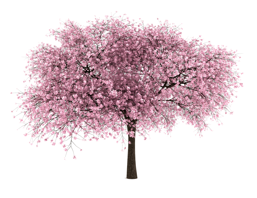 Japanese clipart peach blossom. Cherry tree png hd