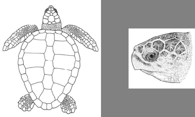 Sea species exploration the. Clipart turtle river turtle