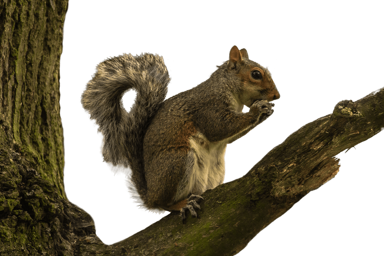 Clipart tree squirrel. On branch transparent png