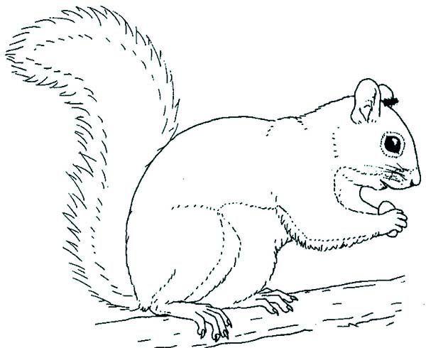 Grey coloring page prek. Clipart squirrel color