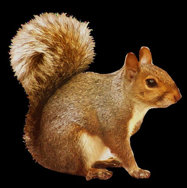Brown squirrel dzivnieki pinterest. Curriculum clipart transparent