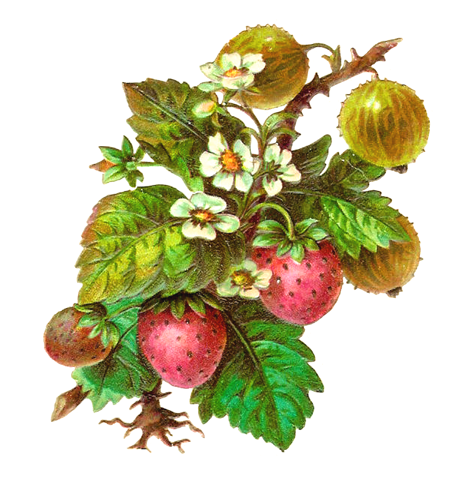 Antique images free fruit. Strawberries clipart strawberry flower