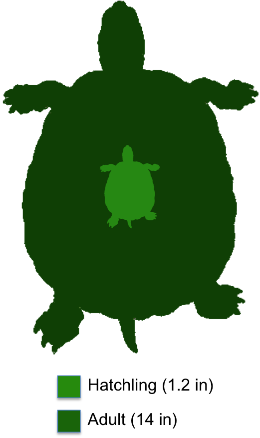 Common snapping the shaded. Clipart turtle land turtle