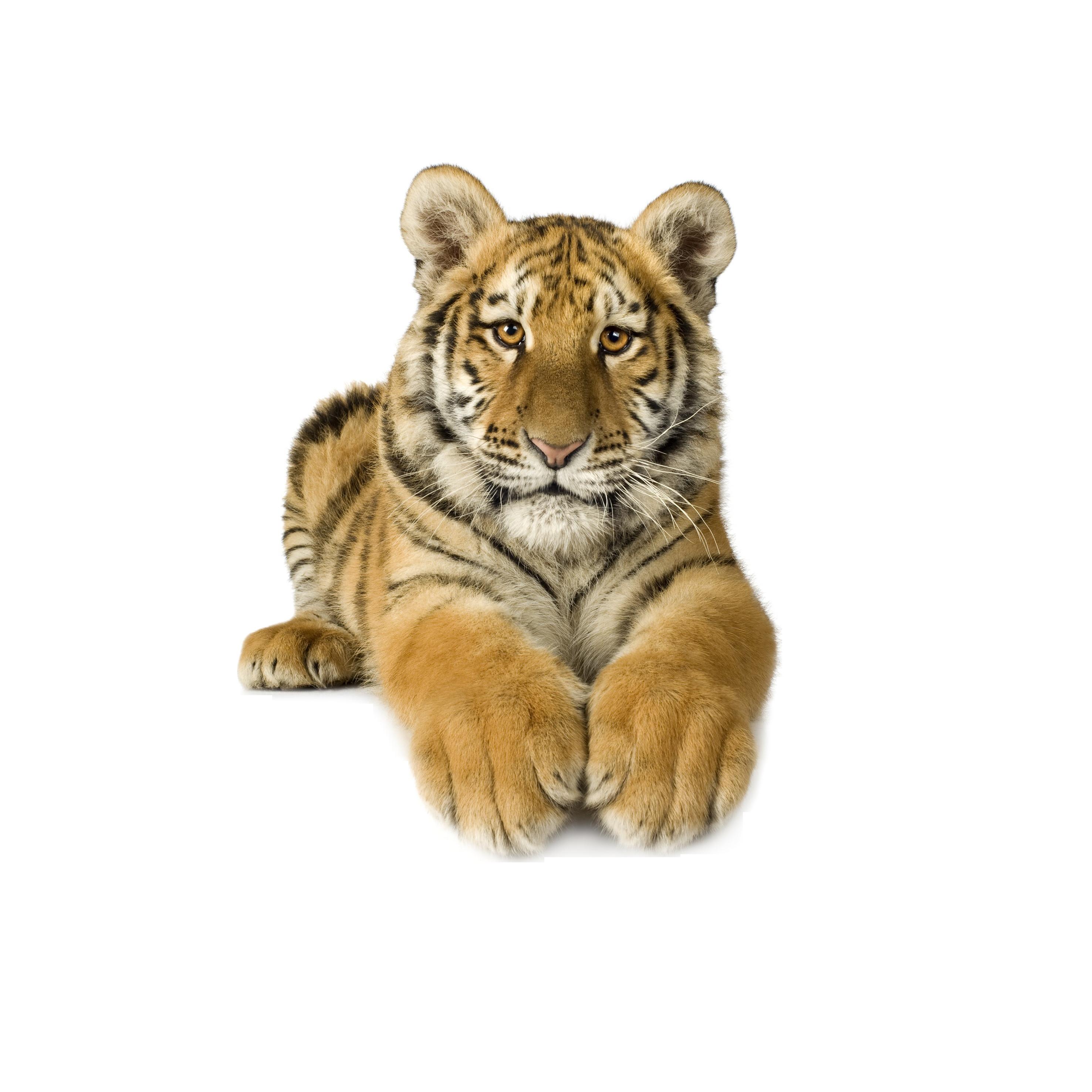 Siberian clip art transprent. White clipart bengal tiger