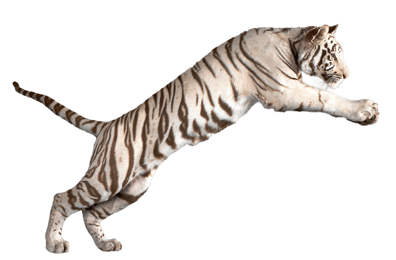 White clipart bengal tiger. Tigers transparent png images