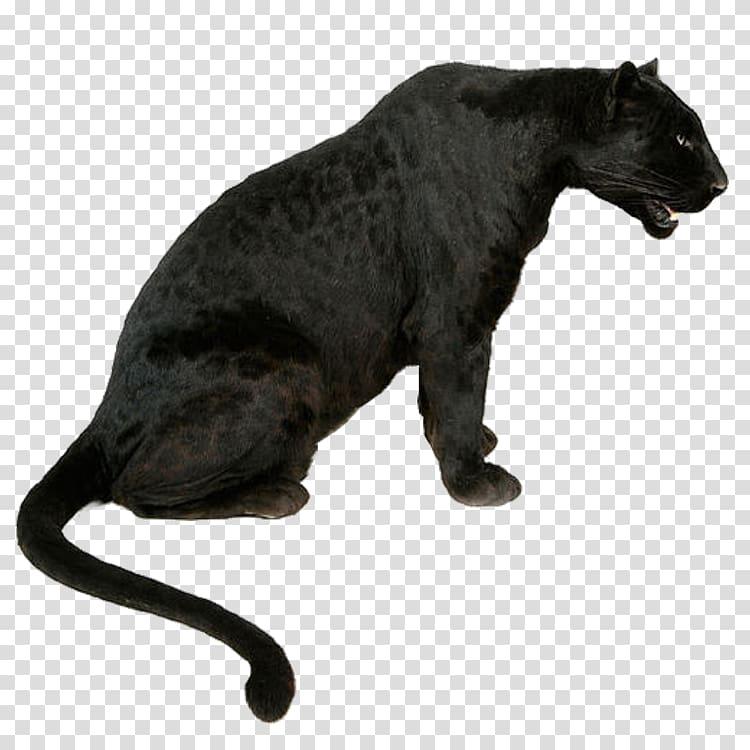Black sitting down leopard. Jaguar clipart panther