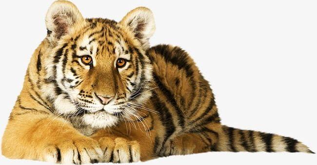 Png animal raptor . Clipart tiger real