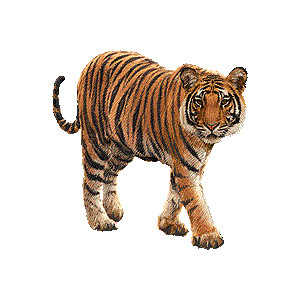 Free brown cliparts download. Clipart tiger real