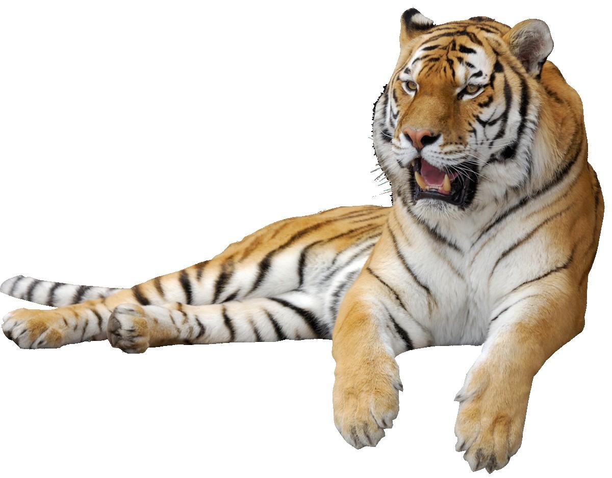 Clipart tiger real. Animals clip art