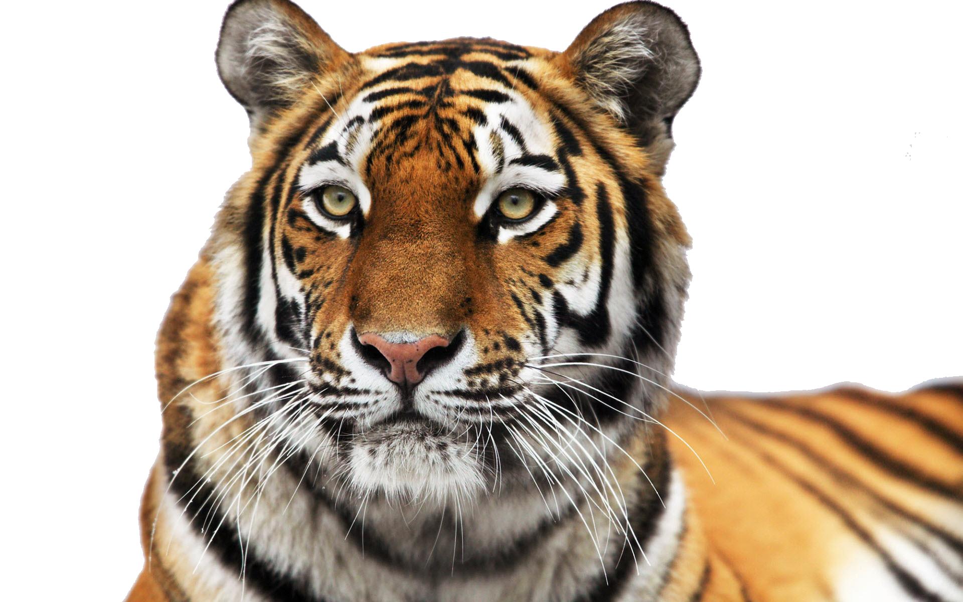 Png tiger face transparent. Scooby doo clipart psd
