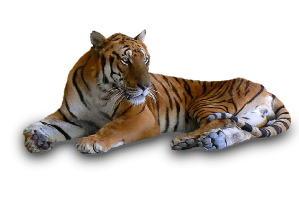 Png crazywidow info. Clipart tiger south china tiger