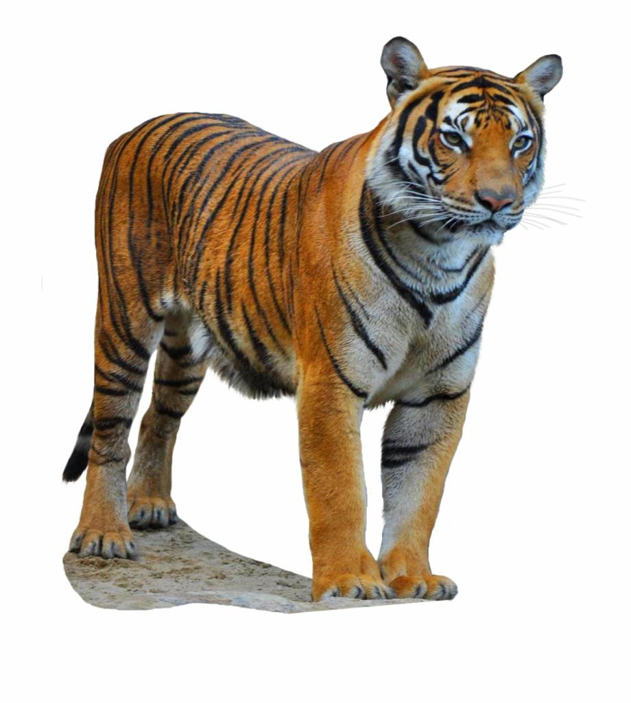 Clipart tiger south china tiger. Siberian free png images