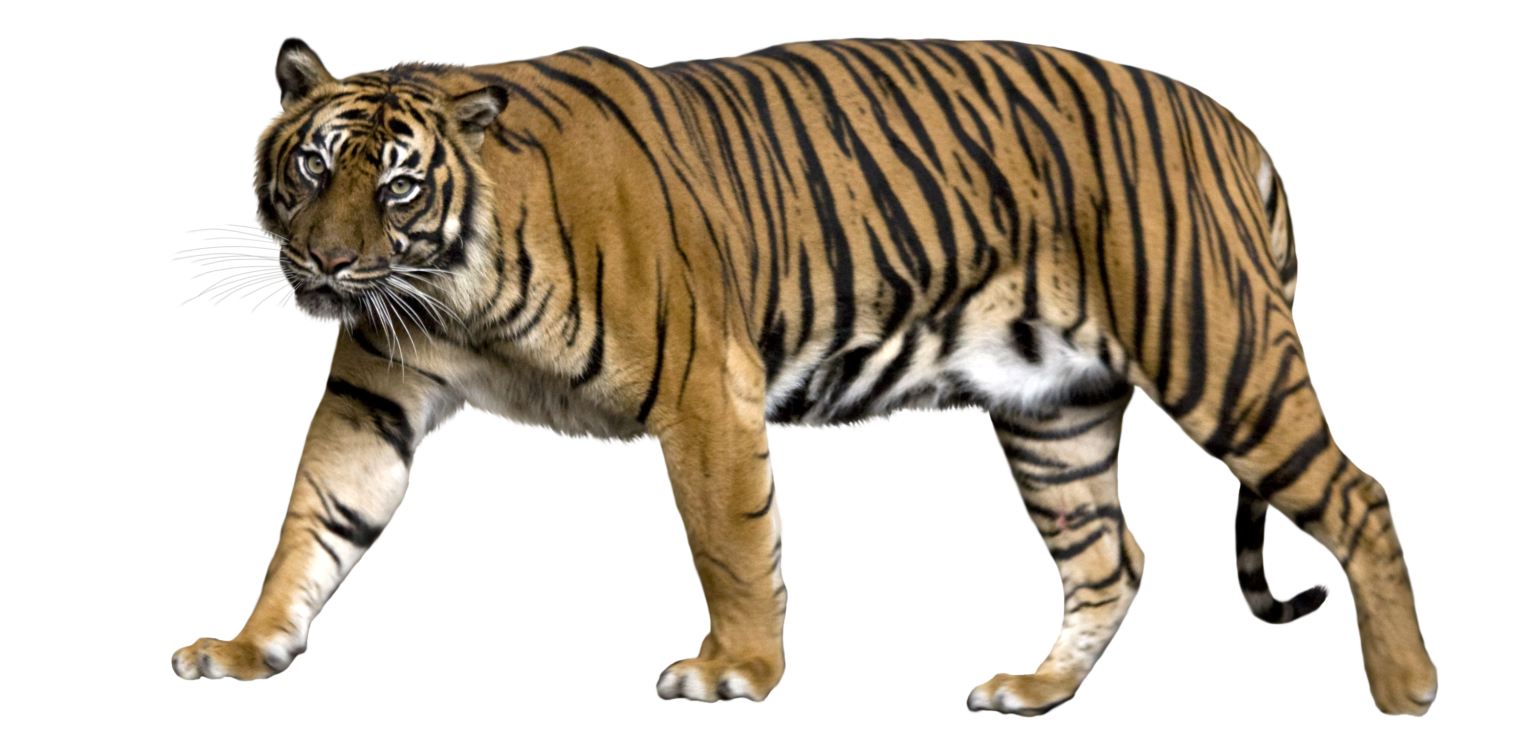 collection of sumatran. Hunting clipart tiger clipart