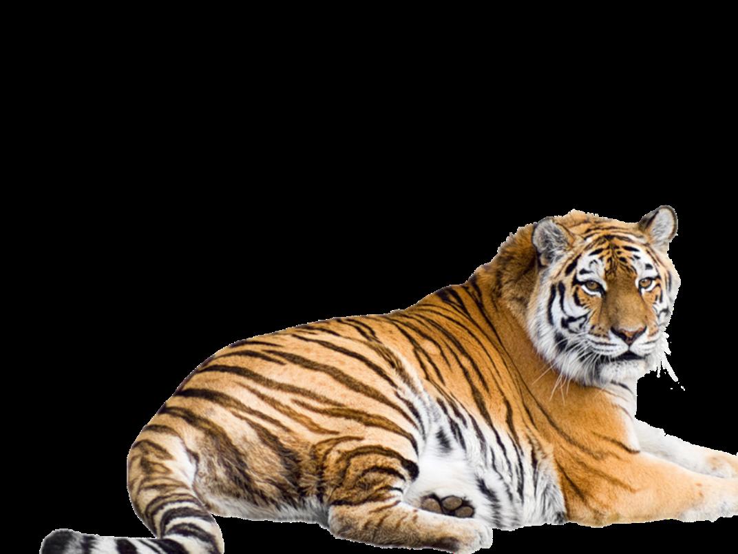 Siberian bengal malayan sumatran. Clipart tiger south china tiger