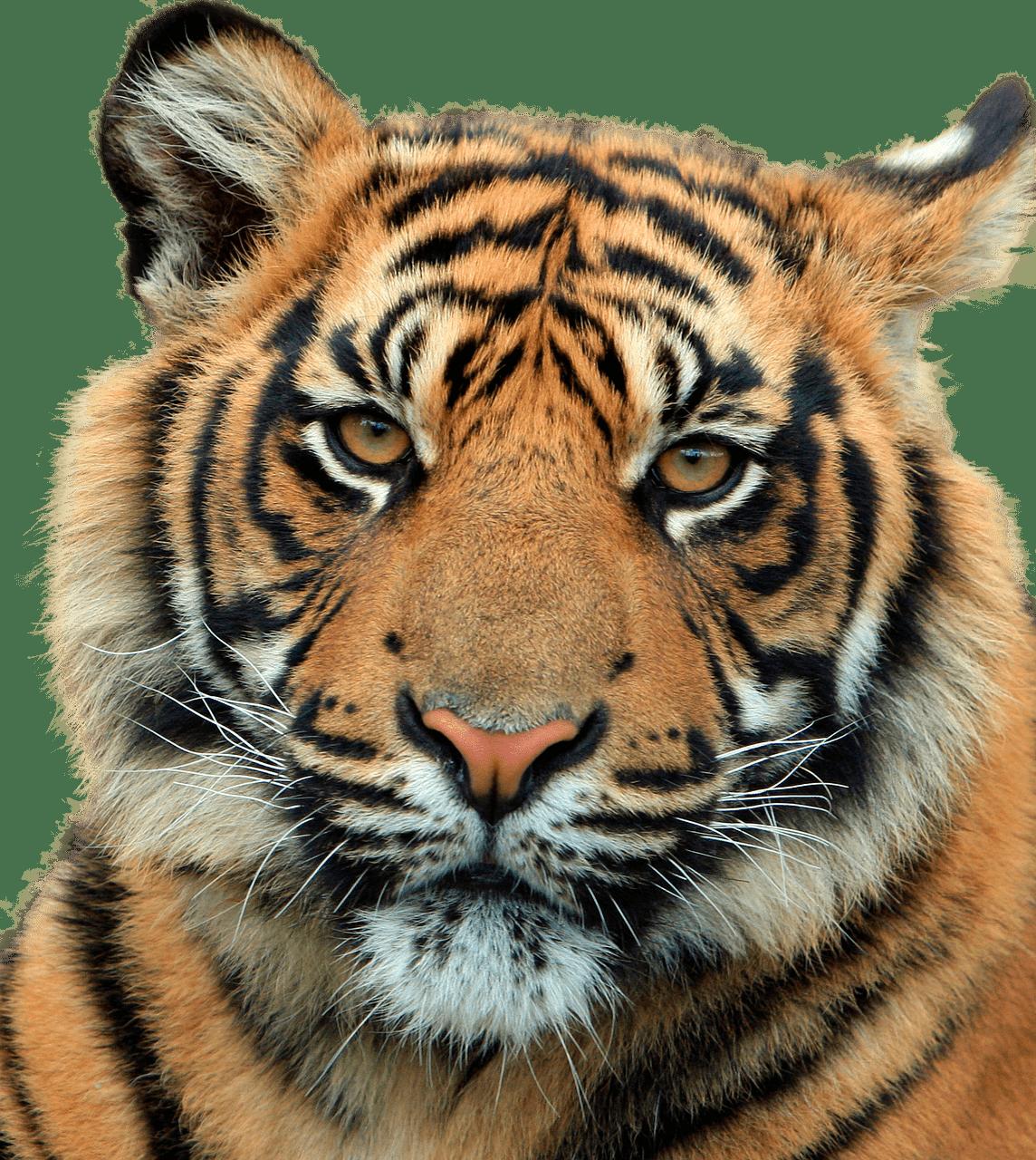 Clipart tiger tiger head. Close up transparent png