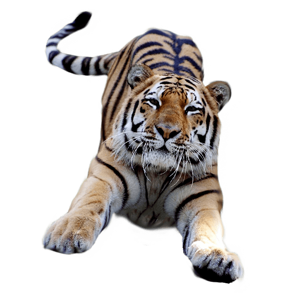 Tiger transparent background
