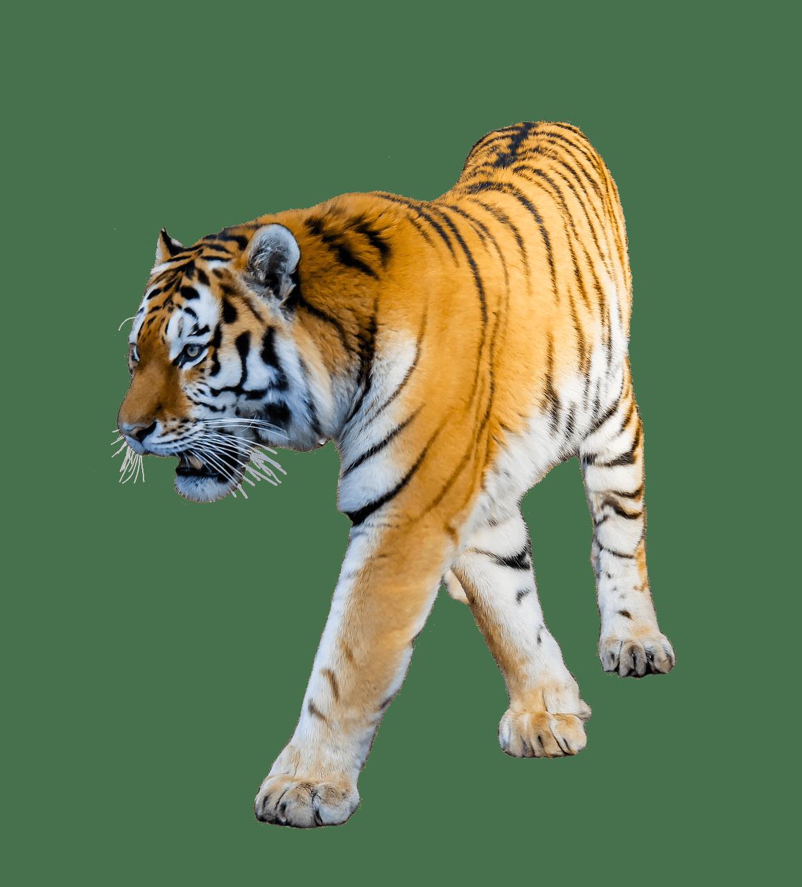 Clipart tiger transparent background. Walking png stickpng