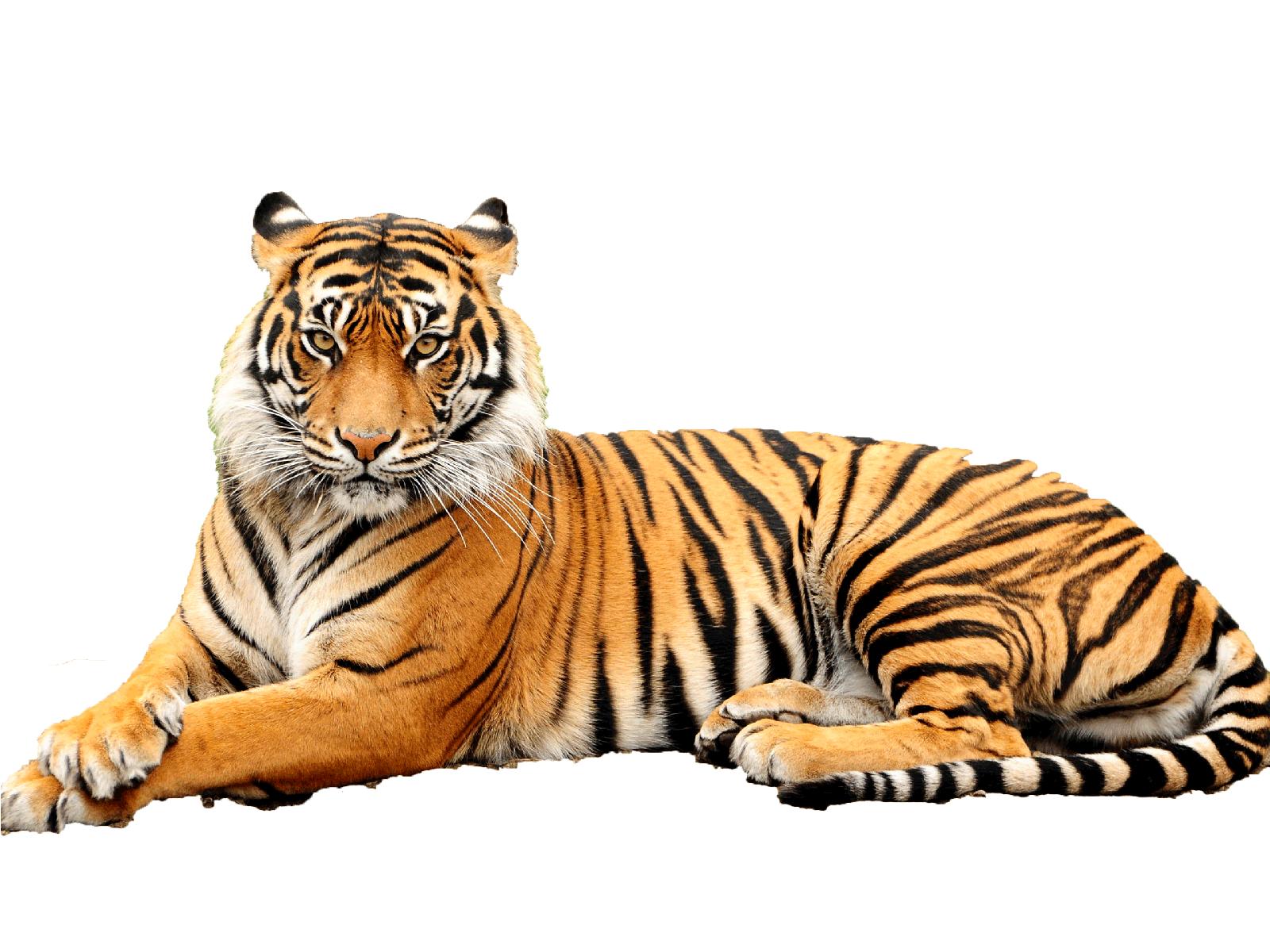 clipart tiger transparent background