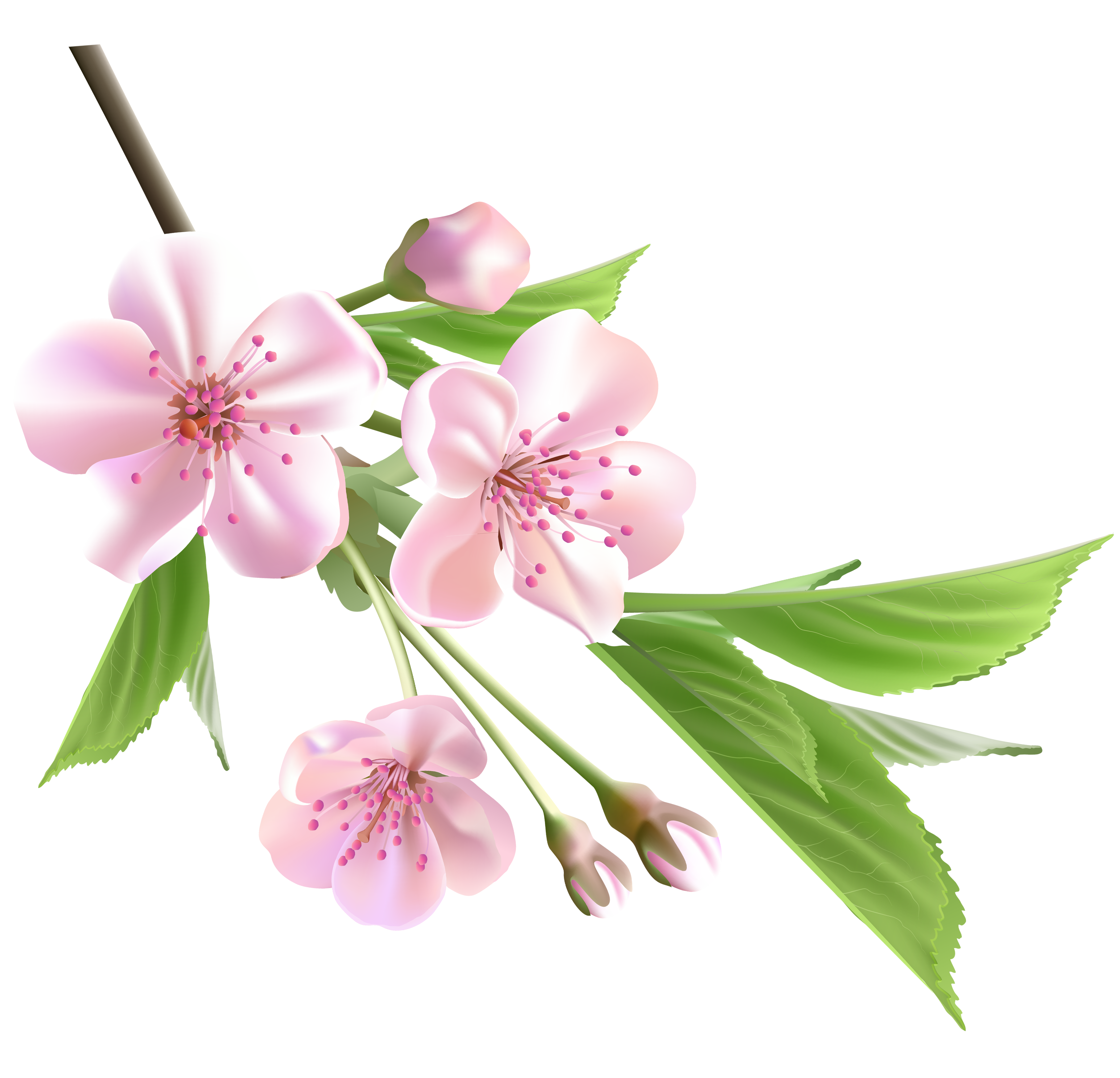 Spring flower png. Branch with pink tree