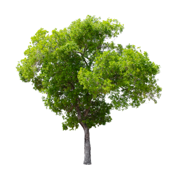 Png images download resources. Clipart tree high resolution