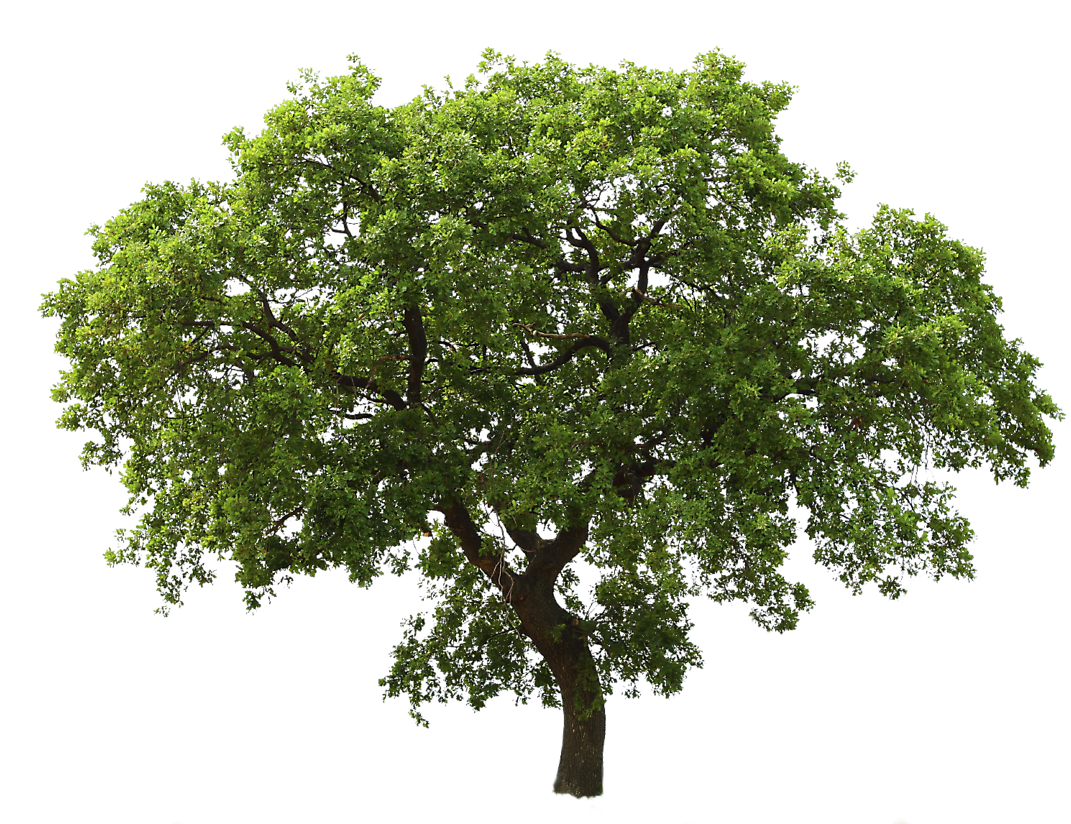 Clipart tree high resolution. Life oak png