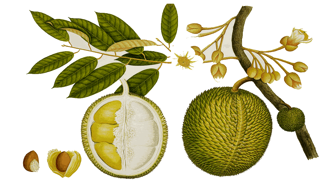 Tree clipart jack fruit.  durian royalty free