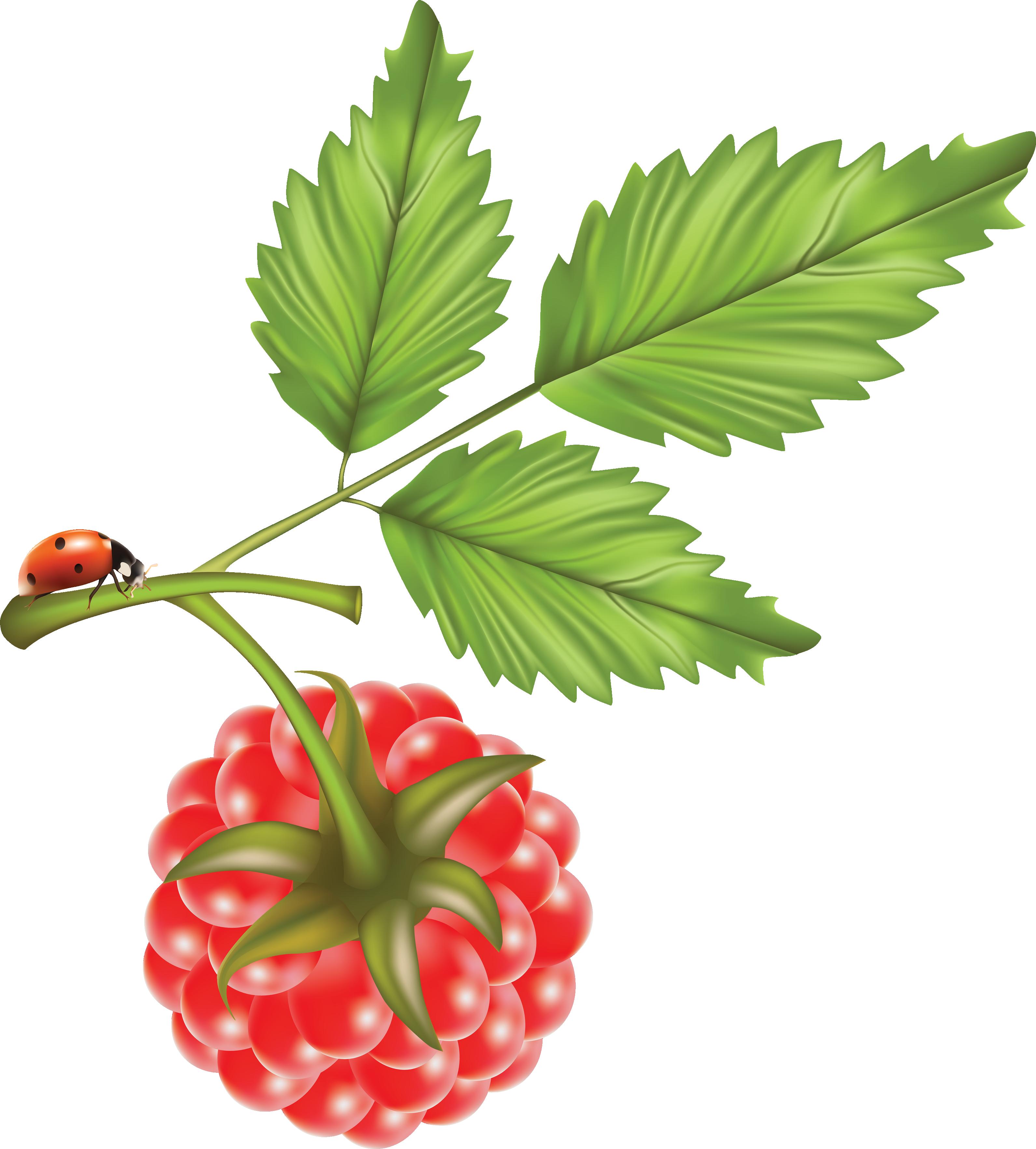 Tree clipart jack fruit. Rraspberry png image pinterest