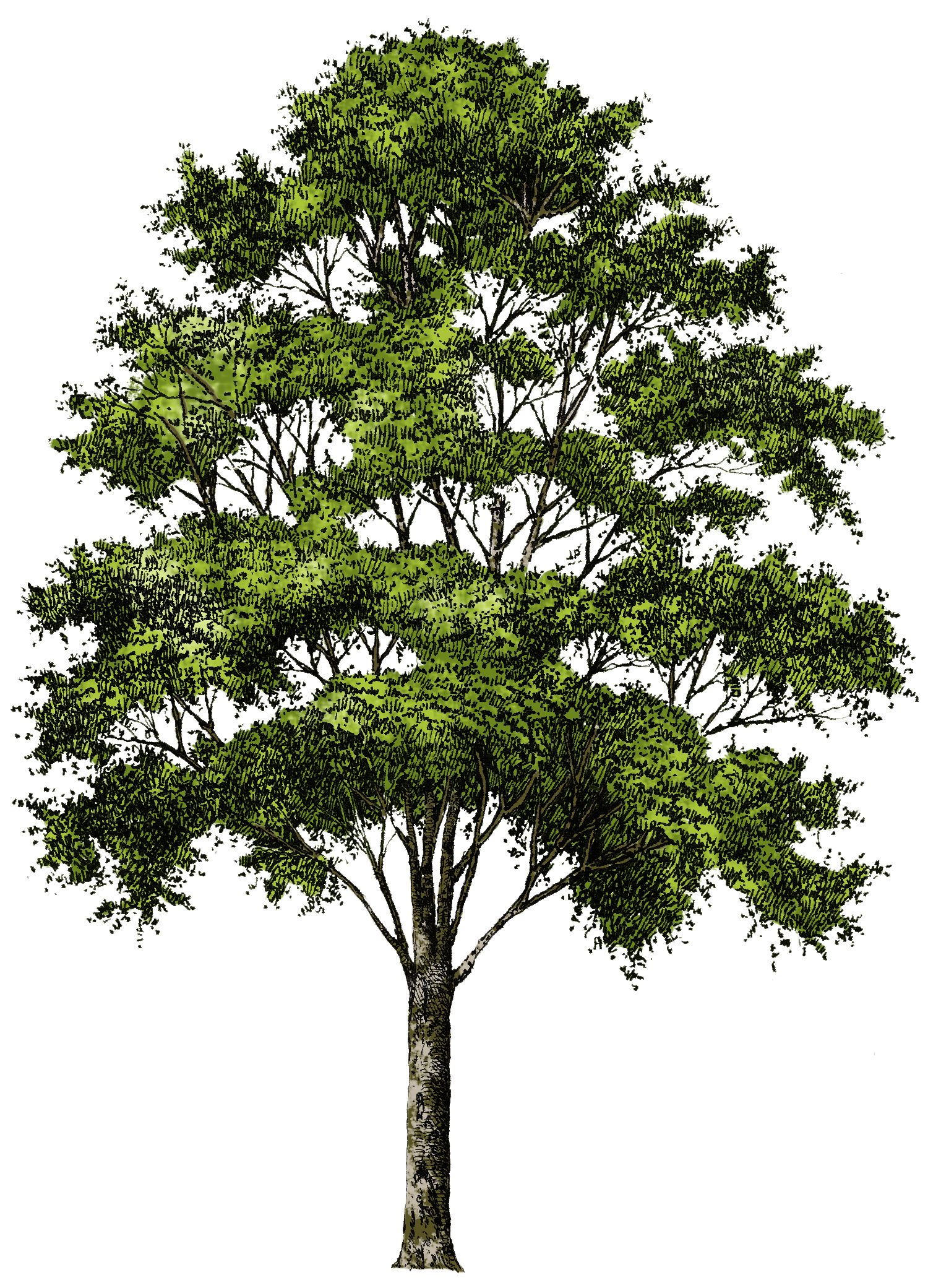 Potato clipart tree. Png images free icons