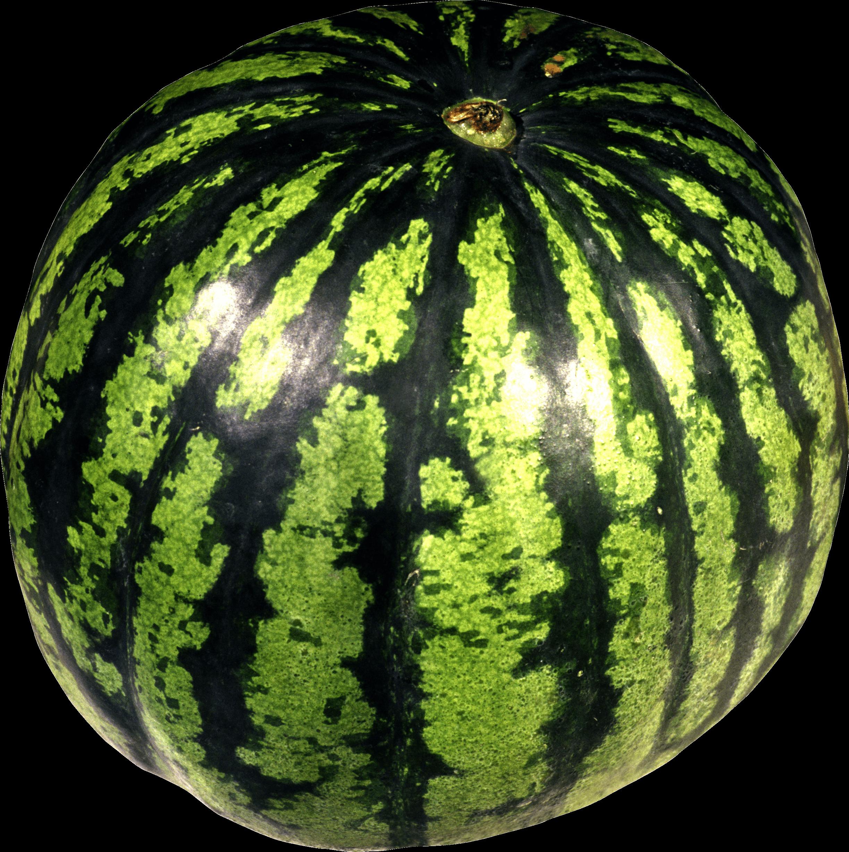 Watermelon cliparts free download. Clipart tree narra