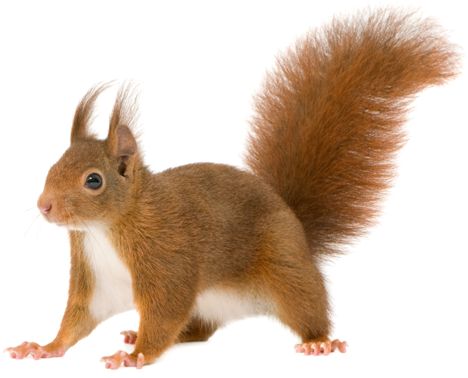 Home clipart squirrel. Red rodent tree squirrels