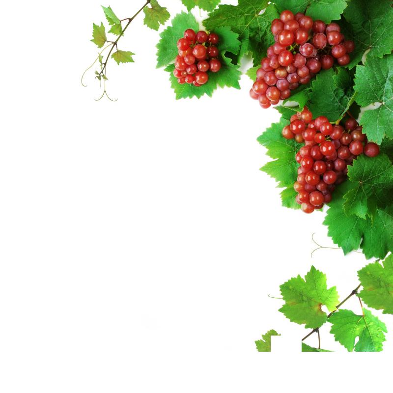 grapevine clipart berry vine