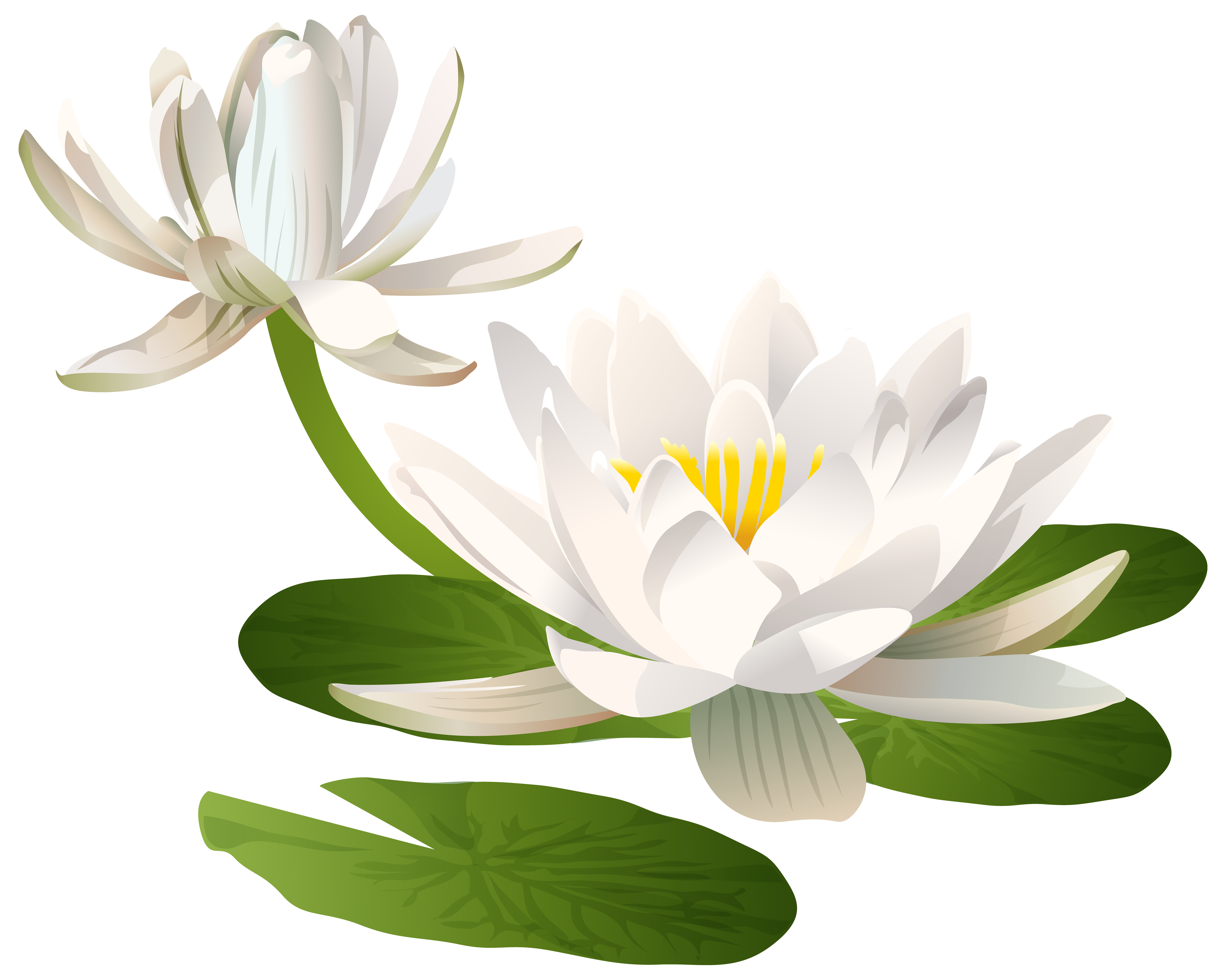 Water png clip art. Lily clipart waterlilly