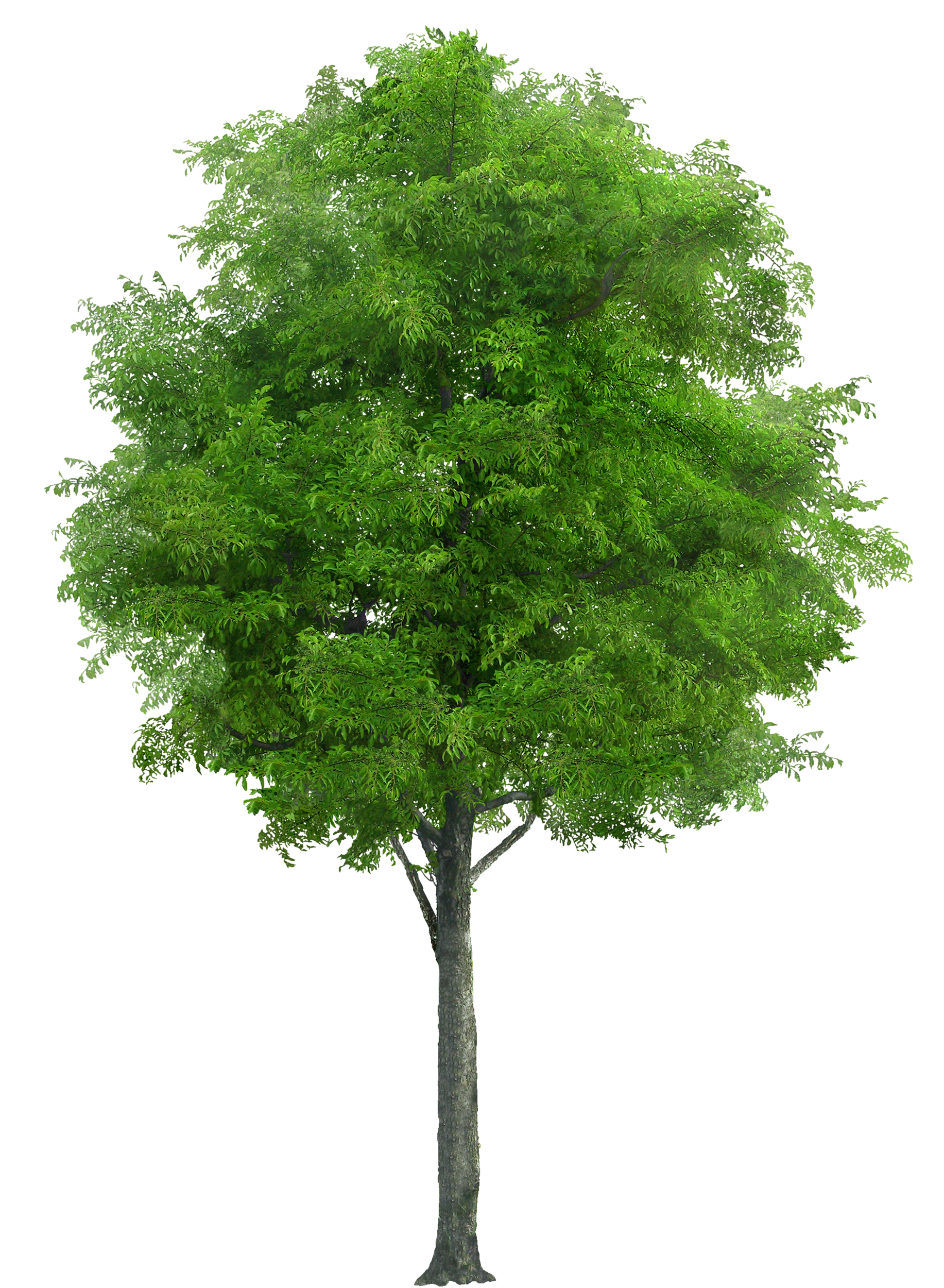 Tree clipart watercolor. Png image landscape draw