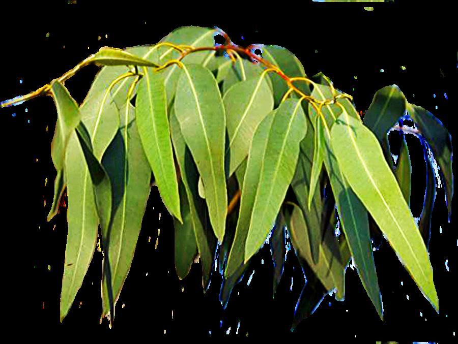 Fire clipart tree. Gum leaves by lilipilyspirit