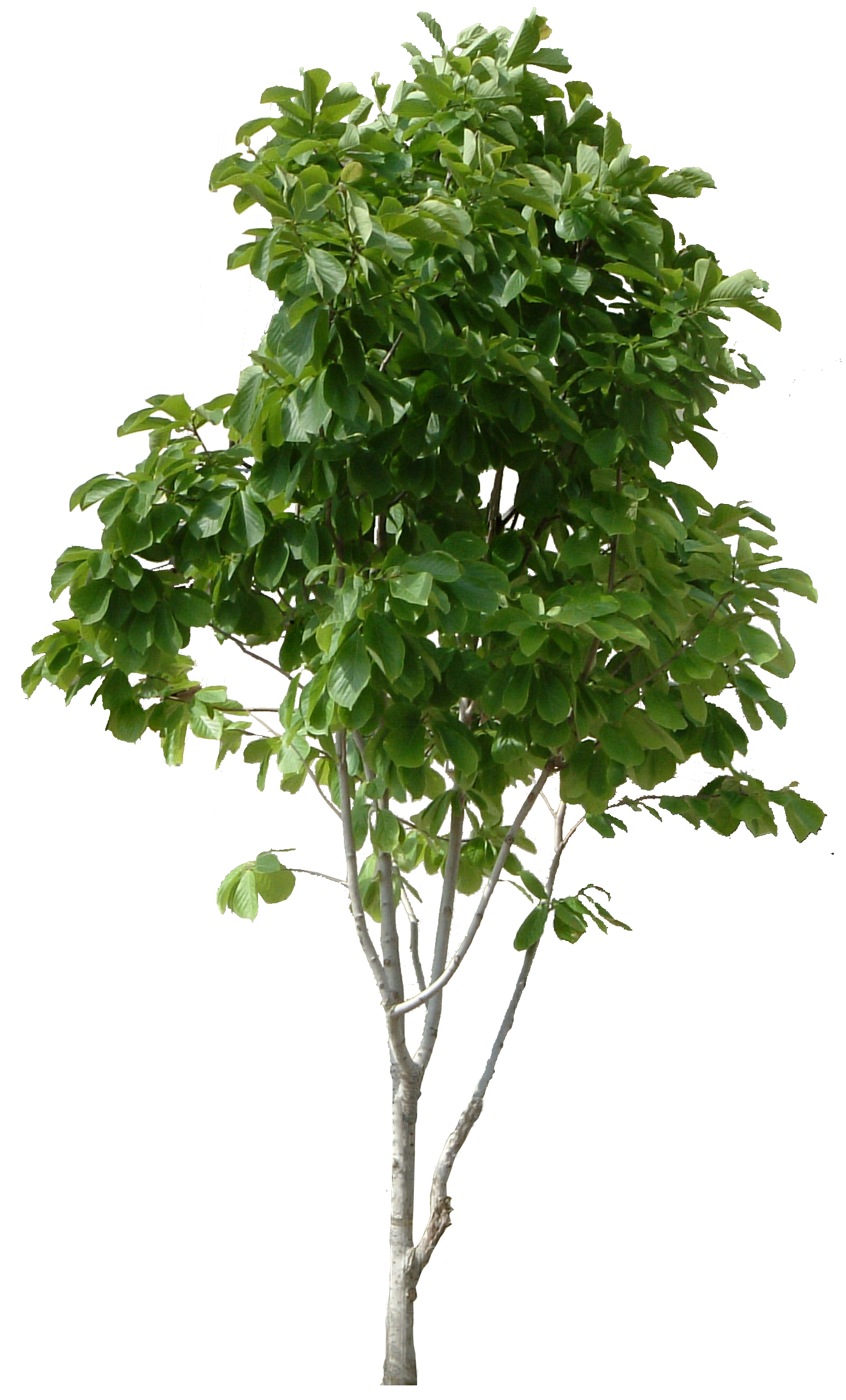 Watermelon clipart tree. Forty seven isolated stock