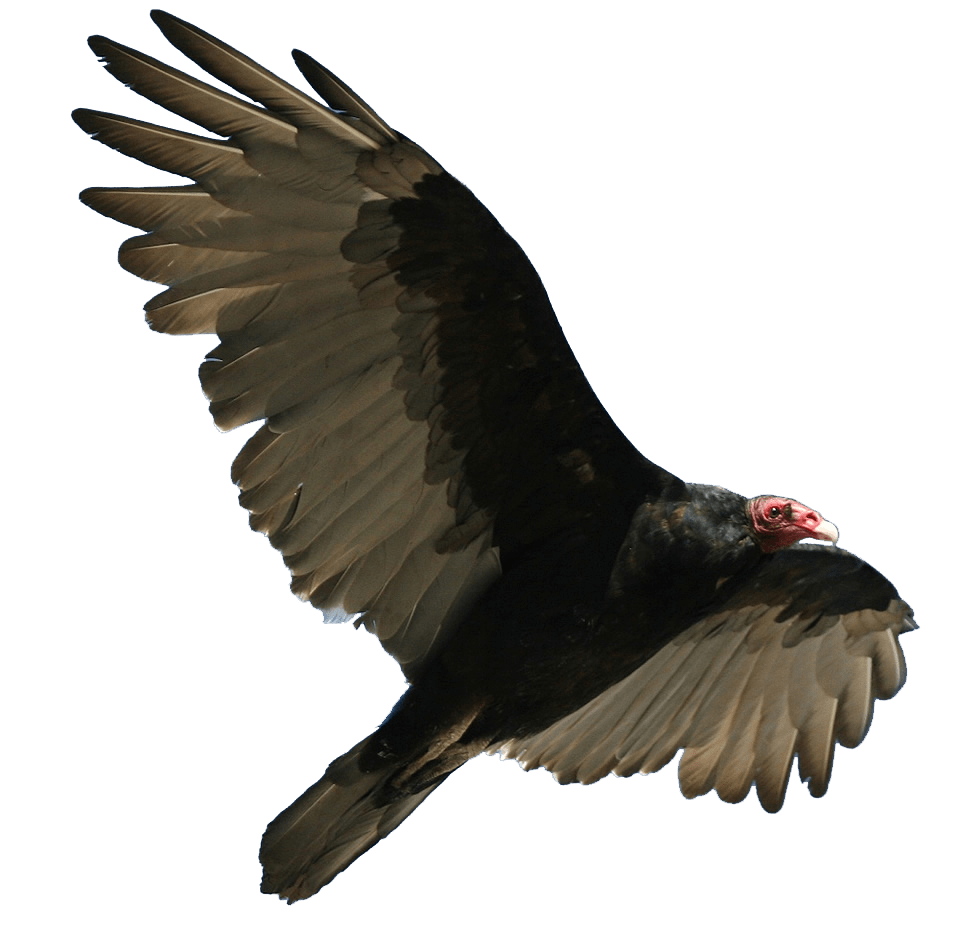 Wing clipart vulture. Turkey flying transparent png